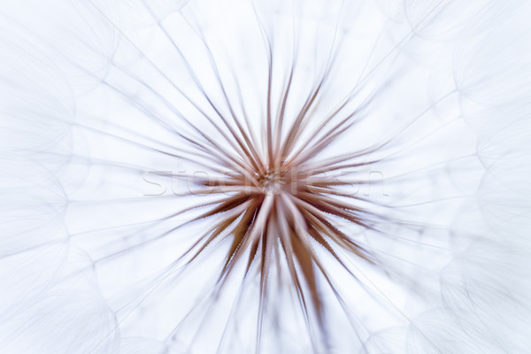 Vintage watercolor abstract background - monochrome dandelion fl Stock photo © bubutu