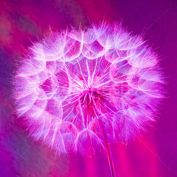 Colorful Pastel Background - vivid abstract dandelion flower Stock photo © bubutu