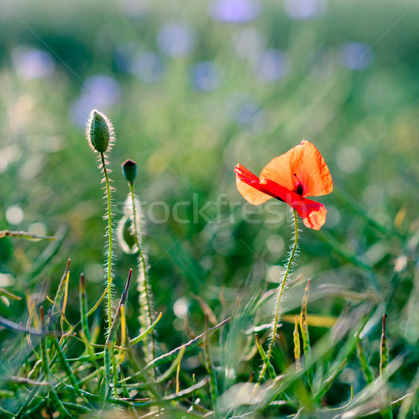 wild poppy flower Stock photo © bubutu