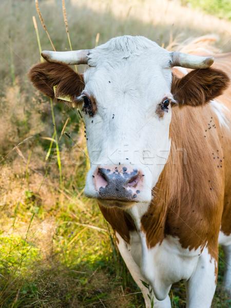 Tehén nyár testtartás legelő természet mező Stock fotó © bubutu