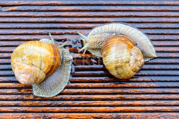 Snails meeting - slow talking - Big snails on the wet terrace - Helix pomatia, Burgundy snail, Roman Stock photo © bubutu
