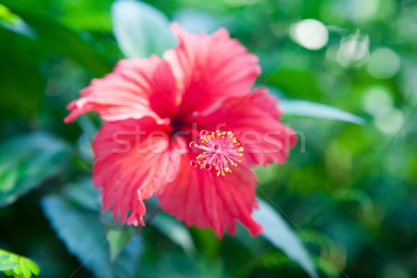Hibiszkusz virág sekély mélységélesség mély mező Stock fotó © bubutu