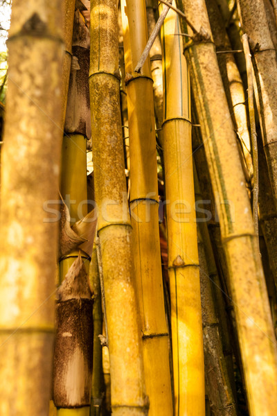 Yellow Old Bamboo forest - closup Stock photo © bubutu