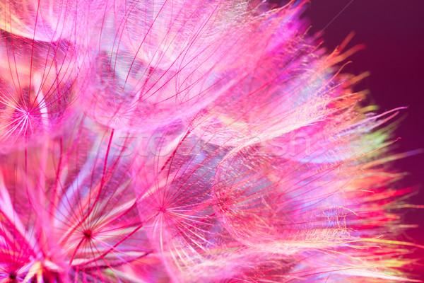 Renkli pembe pastel canlı soyut karahindiba Stok fotoğraf © bubutu