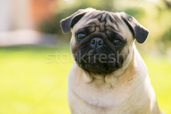 Cute Male Pug on green background in the summer park Stock photo © bubutu