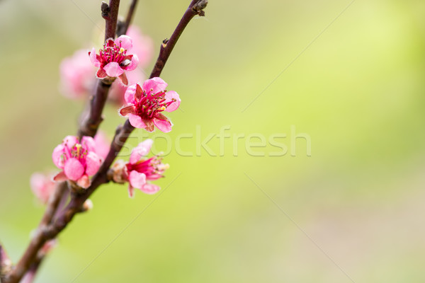 Blooming apple tree. Selective focus Stock photo © bubutu