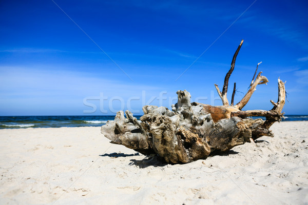 Extremely large piece of driftwood on the sandy beach Stock photo © bubutu