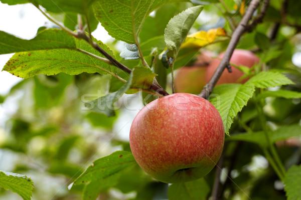 яблони красный яблоки дерево осень продовольствие Сток-фото © Bumerizz