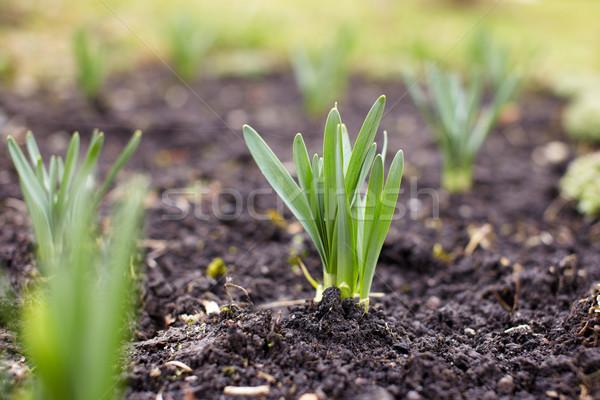 растений первый весны саду Сток-фото © Bumerizz