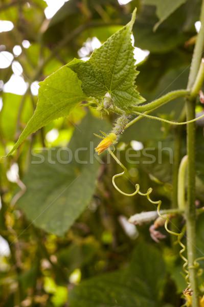 Genç salatalık bitki sera gıda doğa Stok fotoğraf © Bumerizz