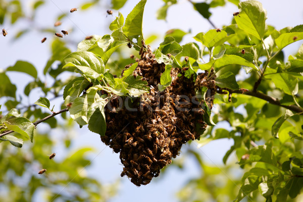 Swarm of bees Stock photo © Bumerizz