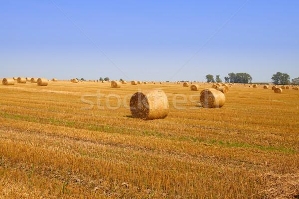 Alan altın saman mükemmel çim Stok fotoğraf © Bumerizz
