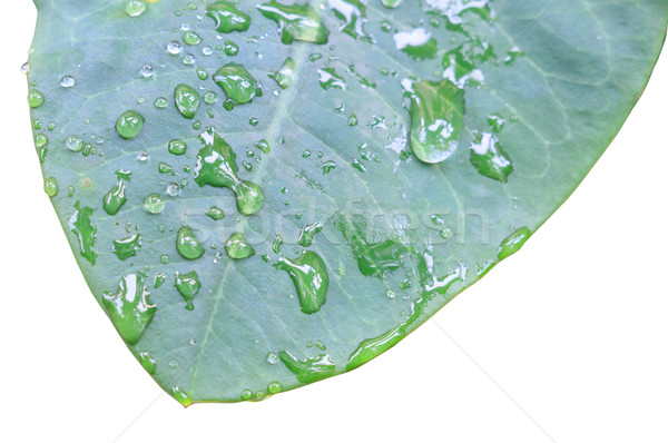 leaf with water drop Stock photo © Bunwit