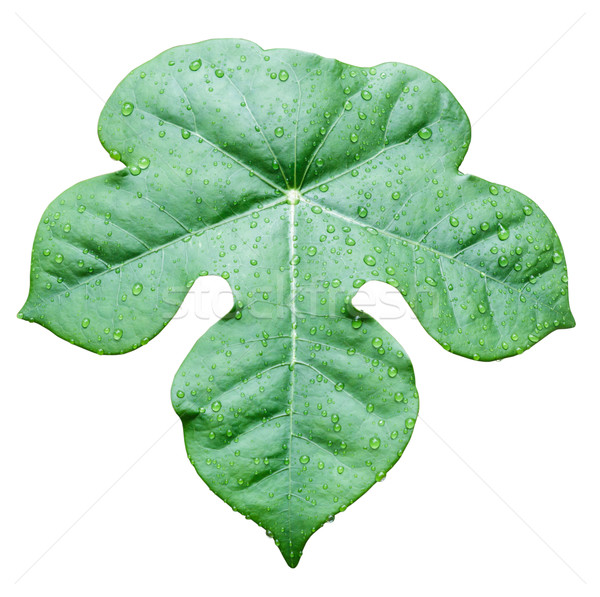 Green leaf with water drop Stock photo © Bunwit