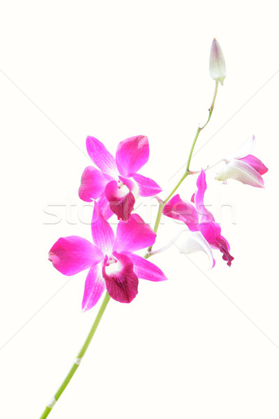orchid isolate Stock photo © Bunwit