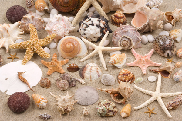 Seashell Background Stock photo © BVDC