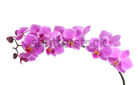 Orchid Stock photo © BVDC