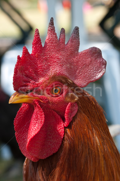 Chicken Stock photo © BVDC
