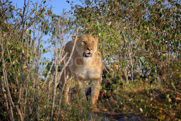 Lew parku Kenia Afryki kot Zdjęcia stock © byrdyak