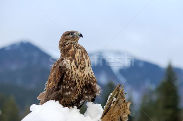 Halcón rama invierno montana madera naturaleza Foto stock © byrdyak