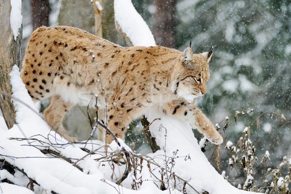 Lynx Stock photo © byrdyak