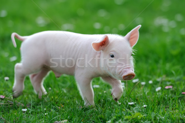 Young pig Stock photo © byrdyak