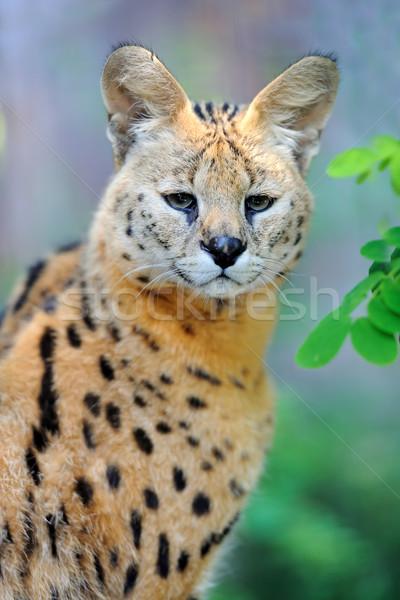 кошки ходьбе природного среде трава Африка Сток-фото © byrdyak
