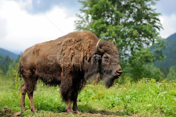 Bison Stock photo © byrdyak