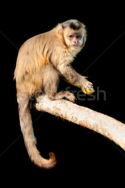 Capuchin monkey on black background Stock photo © byrdyak