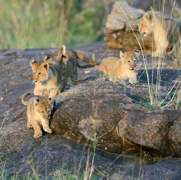 Leão africano parque Quênia África Foto stock © byrdyak