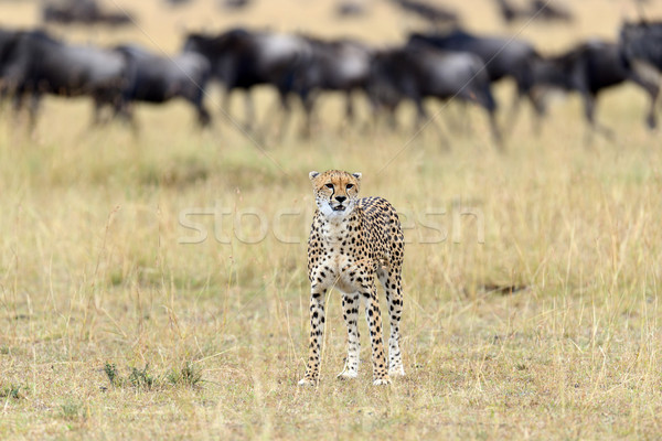 Wild african cheetah Stock photo © byrdyak