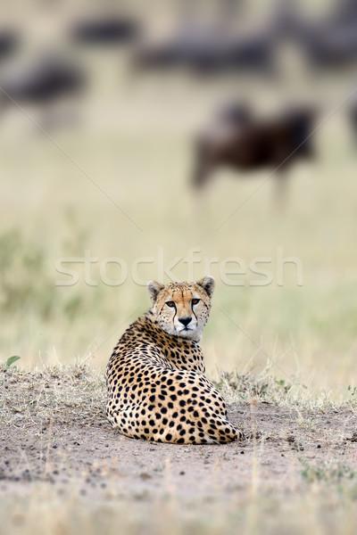 Photo stock: Guépard · sauvage · africaine · belle · mammifère · animaux
