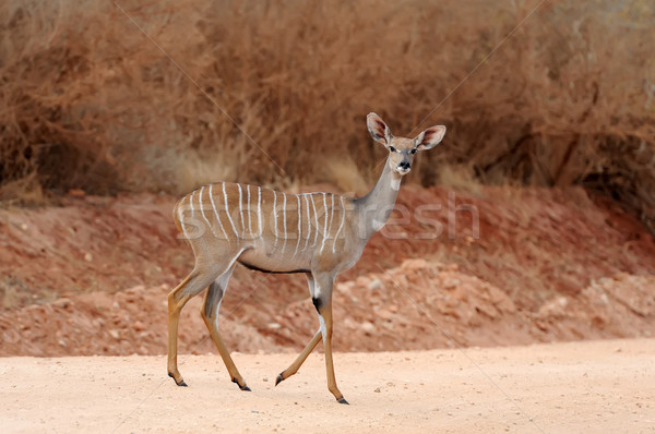 Greater kudu (Tragelaphus strepsiceros) Stock photo © byrdyak