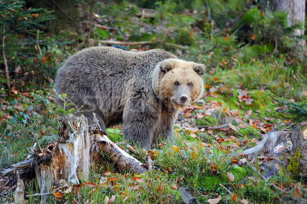 Brown bear in the forest Stock photo © byrdyak