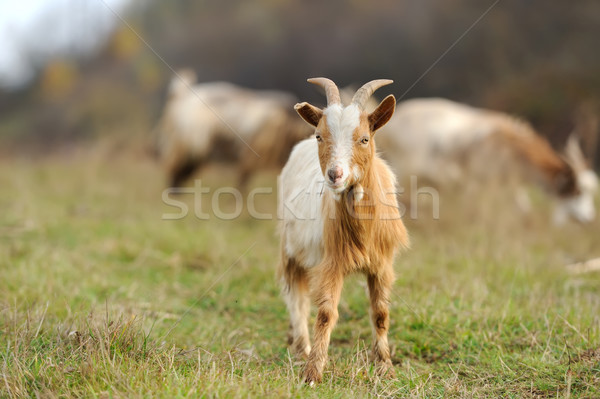 Stock photo: Goat in meadow