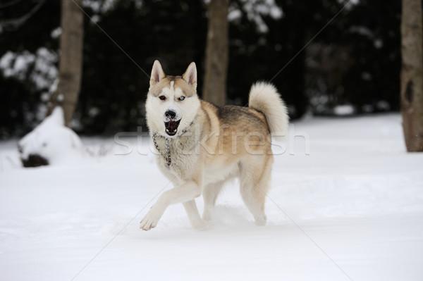Husky jóvenes perro nieve cara feliz Foto stock © byrdyak