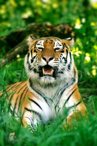 Tigre tigres grama verde verão dia árvore Foto stock © byrdyak