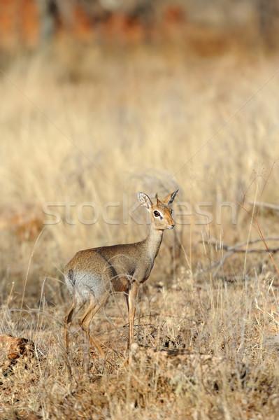 Rezerwa Afryki Kenia oka trawy podróży Zdjęcia stock © byrdyak