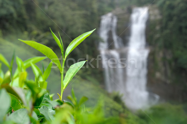 Tea plantation highlands Stock photo © byrdyak