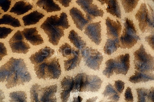 Giraffe skin Stock photo © byrdyak