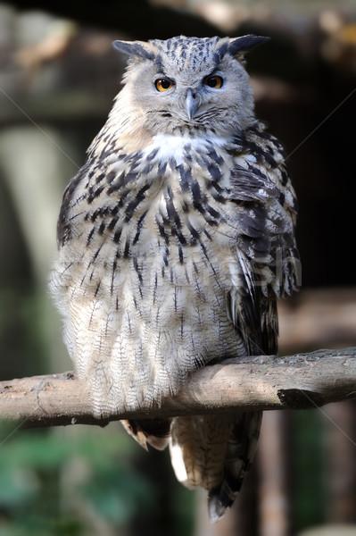 小さな フクロウ 肖像 自然 顔 ストックフォト © byrdyak