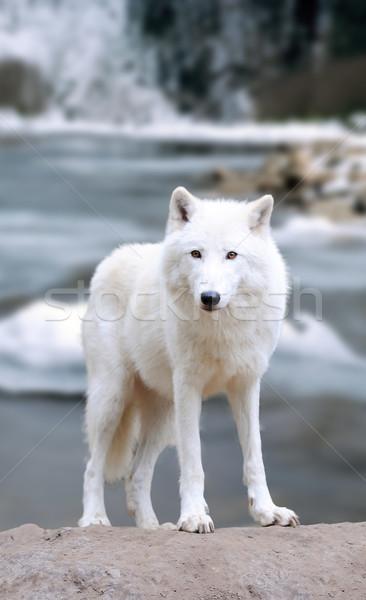 White wolf in forest Stock photo © byrdyak