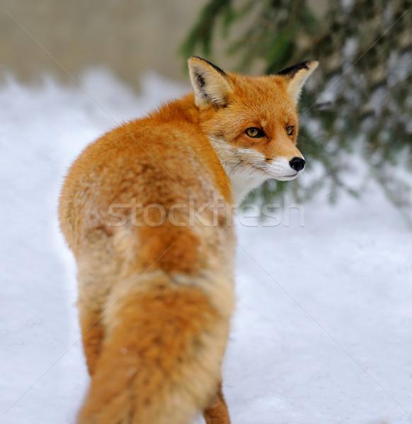 Rojo Fox invierno tiempo primavera cara Foto stock © byrdyak