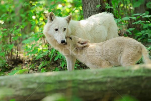 Beyaz kurt orman doğa ağaçlar hayvan Stok fotoğraf © byrdyak