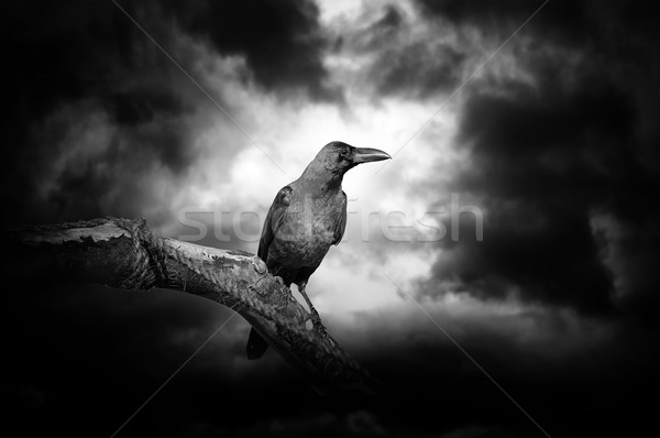 Raven on a branch Stock photo © byrdyak