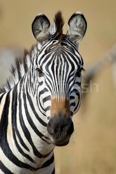 Cebra África parque Kenia hierba caballo Foto stock © byrdyak