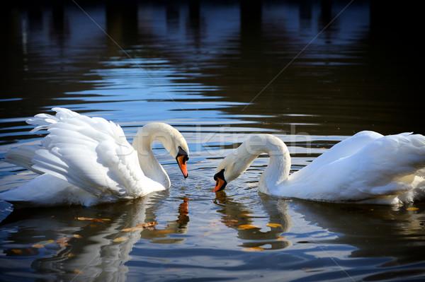 白鳥 湖 スイミング 水 日没 カップル ストックフォト © byrdyak
