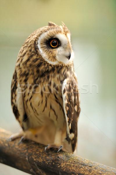 Baykuş genç portre göz Stok fotoğraf © byrdyak