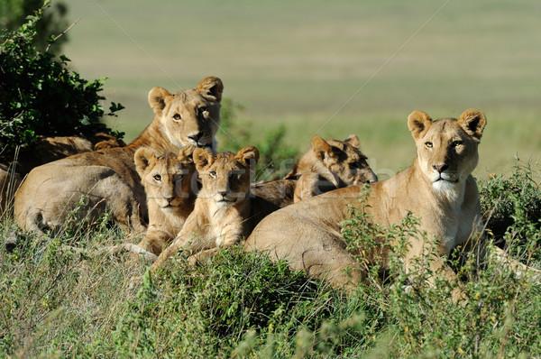Leeuw mooie gras baby portret dier Stockfoto © byrdyak