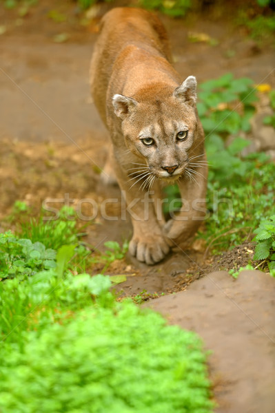 Cougar Stock photo © byrdyak